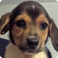 Adopt A Pet :: Polk - Germantown, MD