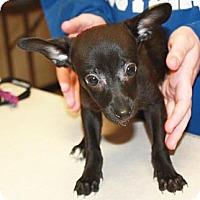 Adopt A Pet :: Koka - Harrisburg, PA