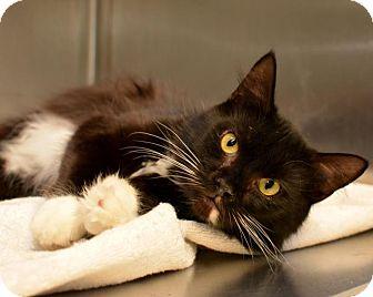 Domestic Shorthair Cat for adoption in Scituate, Massachusetts - Billie