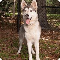 Adopt A Pet :: Jonas - Clearwater, FL