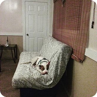 American Pit Bull Terrier/American Staffordshire Terrier Mix Dog for adoption in Kill Devil Hills, North Carolina - Ahi'