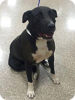 Labrador Retriever Mix Dog for adoption in Las Vegas, Nevada - Cercei
