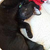 Adopt A Pet :: Raven - Millersville, MD
