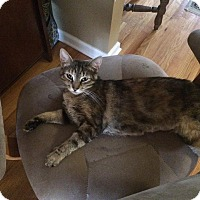 Domestic Shorthair Cat for adoption in Brick, New Jersey - Clementine