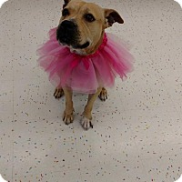 Black Mouth Cur/American Staffordshire Terrier Mix Dog for adoption in Land O Lakes, Florida - Jewel