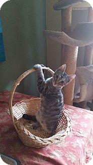 Domestic Shorthair Kitten for adoption in Chesapeake, Virginia - Jamba