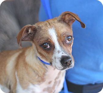 Jack Russell Terrier Mix Dog for adoption in Goleta, California - Rose