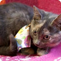 Domestic Shorthair Kitten for adoption in Voorhees, New Jersey - Zutrina