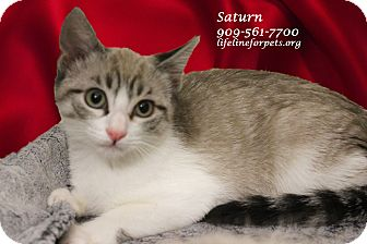 Siamese Kitten for adoption in Monrovia, California - A Baby: SATURN