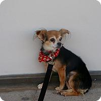 Adopt A Pet :: IAN - Phoenix, AZ