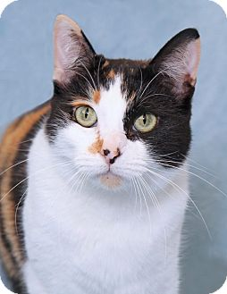 Domestic Shorthair Cat for adoption in Encinitas, California - Miette