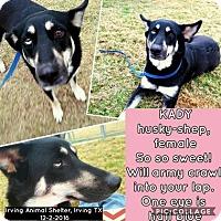 Adopt A Pet :: Kady - Irving, TX