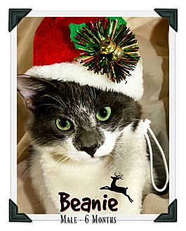 Domestic Mediumhair Kitten for adoption in Fallbrook, California - Beanie