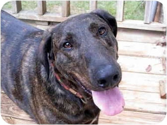 Doberman Pinscher Mix Dog for adoption in Greenville, South Carolina - Spectacular Shelby!