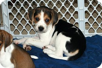 Foxhound/Beagle Mix Puppy for adoption in Minneola, Florida - Davey