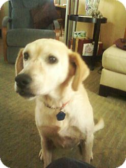 Golden Retriever/Labrador Retriever Mix Dog for adoption in Carey, Ohio - DAISY
