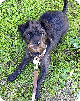 Terrier (Unknown Type, Small)/Scottie, Scottish Terrier Mix Dog for adoption in Bellflower, California - Dodger