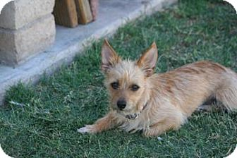Cairn Terrier Mix Dog for adoption in Phoenix, Arizona - Georgia