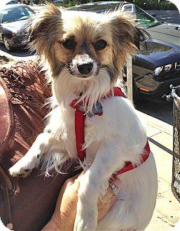 Tibetan Spaniel/Papillon Mix Dog for adoption in Los Angeles, California - Miggins