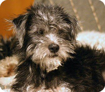 Schnauzer (Miniature)/Terrier (Unknown Type, Small) Mix Puppy for ... Miniature Schnauzer Utah