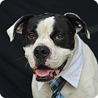 Adopt A Pet :: Bruno - Plano, TX