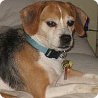 Adopt A Pet :: Snoogie - Novi, MI