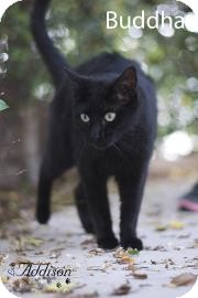 Domestic Shorthair Cat for adoption in Belle Chasse, Louisiana - Buddha