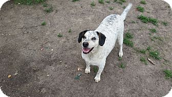 Blue Heeler/Cattle Dog Mix Dog for adoption in Indianola, Iowa - Jordy