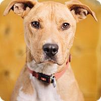 Adopt A Pet :: Teddy Roosevelt - Portland, OR