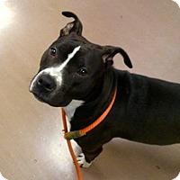 Adopt A Pet :: Payton-adoption pending - Schaumburg, IL