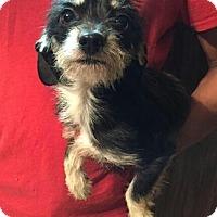 Adopt A Pet :: Piper - Dumfries, VA
