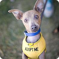 Adopt A Pet :: Romeo - Marina del Rey, CA