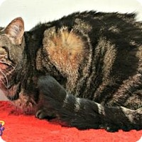 Domestic Shorthair Cat for adoption in Sebastian, Florida - Baby