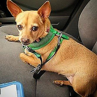 Chihuahua Mix Dog for adoption in Henderson, Nevada - Scarlett
