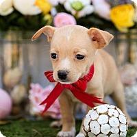Adopt A Pet :: Mickey Mouse - Auburn, CA