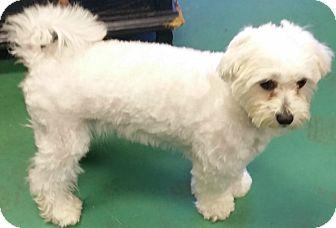 Maltese/Shih Tzu Mix Dog for adoption in Beverly Hills, California - DEACON MAXWELL