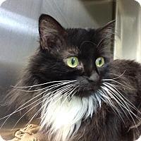 Adopt A Pet :: Mini Moo - Fairfax, VA