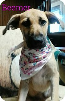 Black Mouth Cur Mix Puppy for adoption in Trenton, New Jersey - Beemer