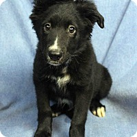 Adopt A Pet :: TOMMI - Westminster, CO