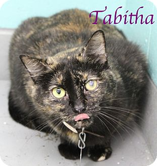 Domestic Shorthair Cat for adoption in Bradenton, Florida - Tabitha