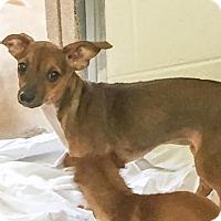 Adopt A Pet :: Soko - Hendersonville, NC