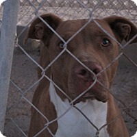 Pit Bull Terrier Mix Dog for adoption in Lancaster, California - Jake