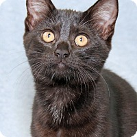 Domestic Shorthair Kitten for adoption in Encinitas, California - Roxy