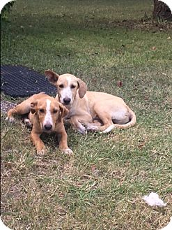 Labrador Retriever/Hound (Unknown Type) Mix Puppy for adoption in Ann Arbor, Michigan - A - Clinton OR Donald