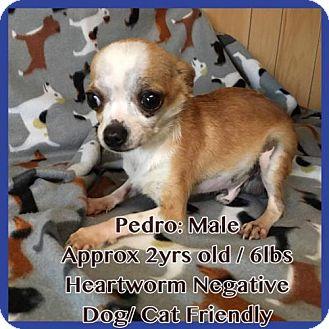 Chihuahua Dog for adoption in greenville, South Carolina - Pedro