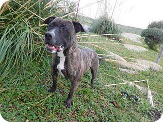 Pit Bull Terrier Dog for adoption in McKinleyville, California - JAKE