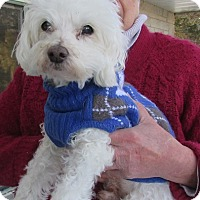 Adopt A Pet :: Fluffy - House Springs, MO