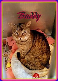 Domestic Shorthair Cat for adoption in Berkeley Springs, West Virginia - Buddy