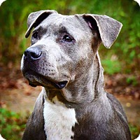 American Pit Bull Terrier/Pit Bull Terrier Mix Dog for adoption in Conroe, Texas - Bonnie Parker