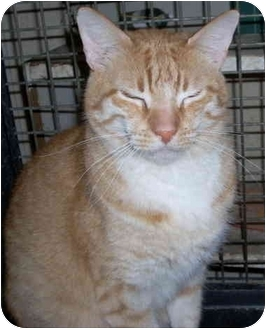 Domestic Shorthair Cat for adoption in Youngsville, Louisiana - !!BARN CATS AVAILA